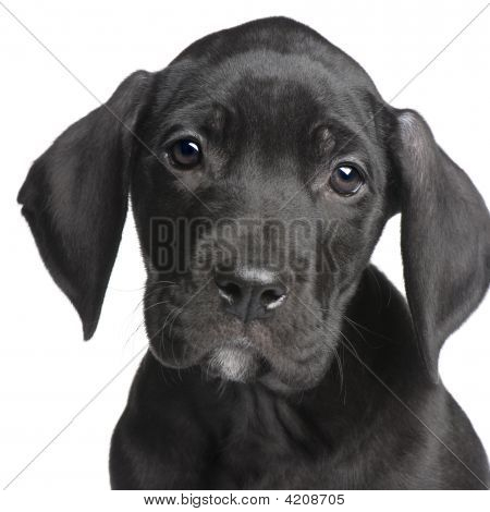 puppy Great Dane (2 months) in front of white background poster