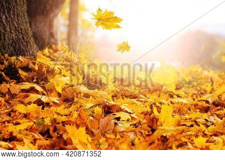 Maple Leaves Falling From A Tree On A Clear Sunny Autumn Day. Autumn Background With Maple Leaves On