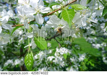 A Bee On The Flower Of A Blooming Apple Tree. White Flowers Of A Blooming Apple Tree. Close-up. Bloo