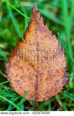 A Closeup Portrait Of A Orange, Brown And Yellow Fallen Autumn Birch Leaf Lying In The Grass Of A La
