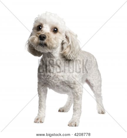Mixed-Breed Dog between (4 years) in front of a white background poster