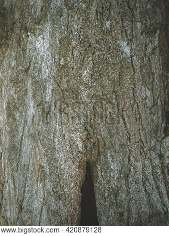 Rough Tree Bark Texture With Crevices. Hollow In A Tree Trunk. Natural Background. Bark Texture Of O