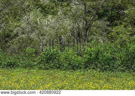 Large Invasive Chinese Privet Bushes Taking Over The Woodlands Causing Destruction In A Field Full O