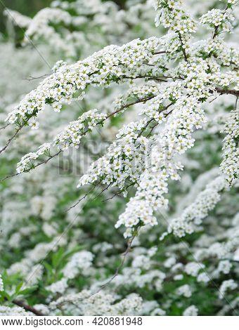 Blooming Bushes Of Spiraéa Cinérea In Spring, Selective Focus, Blurred Background, Vertical Orientat