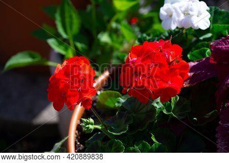 Red Pelargonium Flowers Flower Plant Green Nature Red Botany