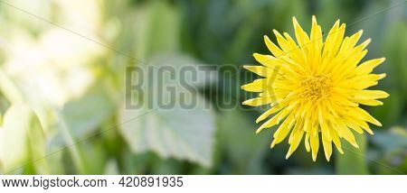 Dandelion In Green Grass, Spring. Close-up Of A Flower, Nature