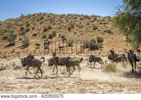 Blue Wildebeest Group Running In Arid Land In Kgalagadi Transfrontier Park, South Africa; Specie Con
