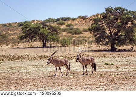 Two South African Oryx Walking In Arid Land In Kgalagadi Transfrontier Park, South Africa; Specie Or