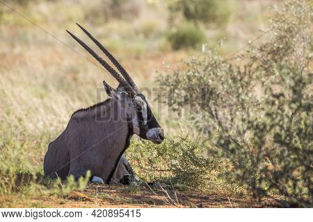 South African Oryx Lying Down In Shadow In Kgalagadi Transfrontier Park, South Africa; Specie Oryx G