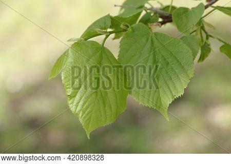 Leaves Of An American Basswood Tree, Tilia Americana