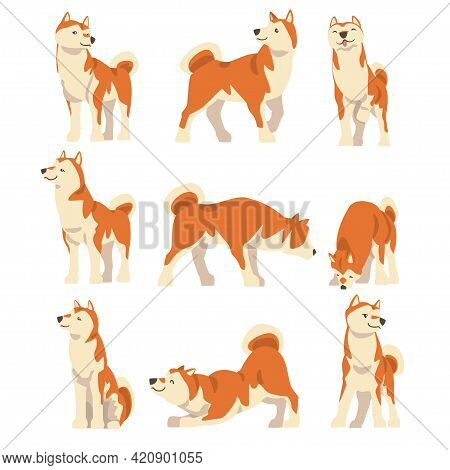 Shiba Inu As Japanese Breed Of Hunting Dog With Prick Ears And Curled Tail In Different Poses Vector