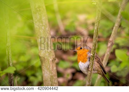 European Robin. Erithacus Rubecula. One Robin Perching On Tree Branch In Natural Environment. Robin