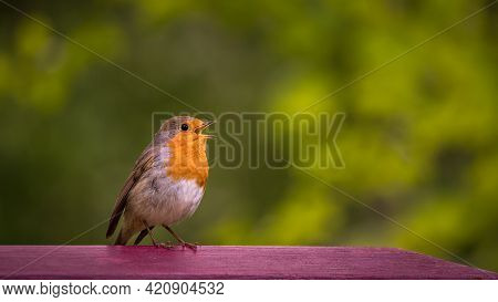 European Robin. Erithacus Rubecula. One Robin Is Singing With Green Background In Spring In Switzerl