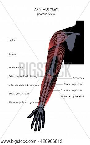 Human Biceps, Triceps Brachioradialis And Other Muscle Of Arms Posterior View. Muscular System Poste