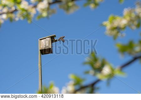 A Starling Flies Out Of A Birdhouse Against A Clear Blue Sky, Surrounded By Flowering Plum Branches.