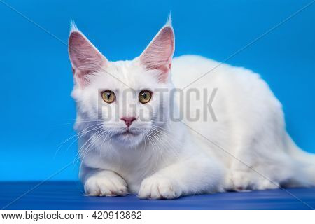 Cute Maine Coon Cat - Large Domesticated Longhair Cat Breed. Portrait Of White Color Female American