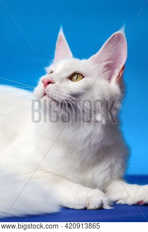 Lovely Maine Coon Cat - Large Domesticated Longhair Cat Breed. Portrait Of White Color Female Americ