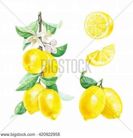 Watercolor Set With Fresh Citrus Fruit Lemons On A Branch With Green Leaves Isolated On White Backgr