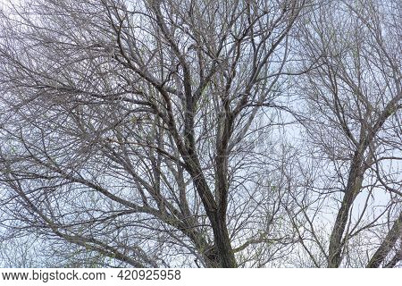 An Elm Tree In The Sky With Many Branches In The Spring That Starts In The Vegetation