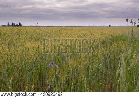 A Field Of Unripe Wheat. Wheat Harvest. A Field With Planted Wheat. Green Wheat On The Field. Cloudy