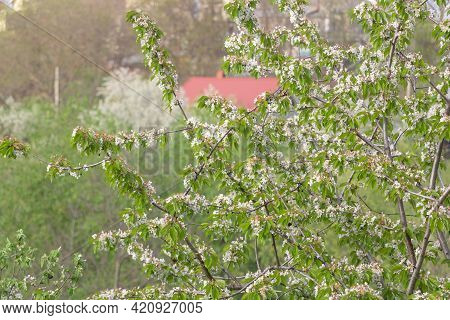 Cherry Tree Blossoms In White With Fresh Green Leaves In Spring