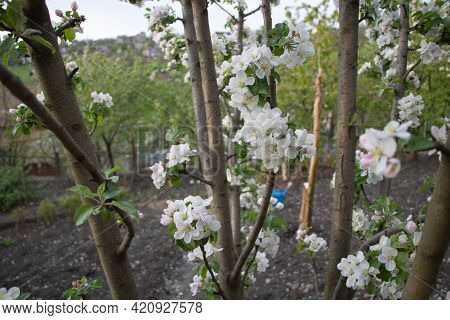 Apple Tree In Beautiful White Bloom, Selective Focus