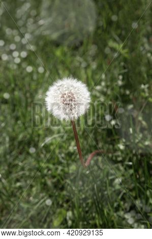 Beautiful Dandelion Detail Isolated On Green Background