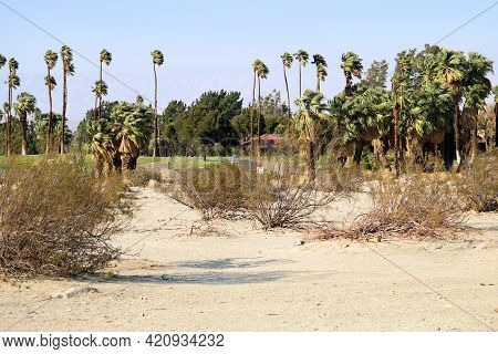 Creosote Shrubs On A Sandy Plain With A Manicured Landscape Beyond Including Palm Trees Taken Where