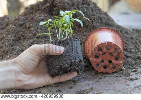 In The Process Of Repotting Pepper Seedlings. Seedlings In The Hand Of A Garden. Gardening Season Co