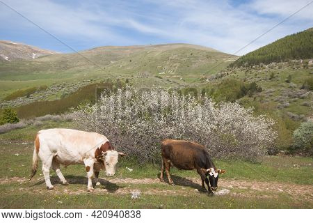 Two Cows On A Green Spring Field And Blue Sky