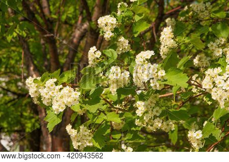 branch of a white flowering mountain ash on sunny spring day outdoor closeup
