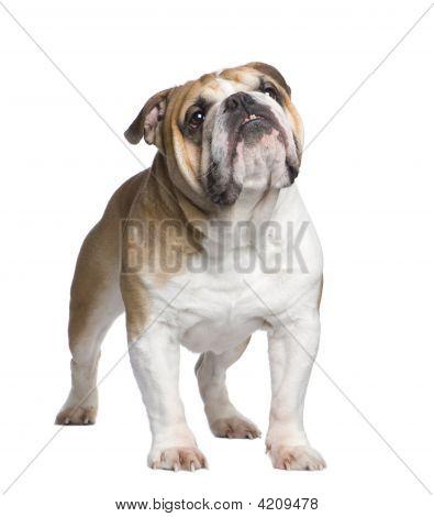 English Bulldog (6 Years)
