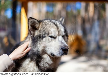 A Beautiful And Kind Alaskan Malamute Shepherd Sits In An Enclosure Behind Bars And Looks With Intel