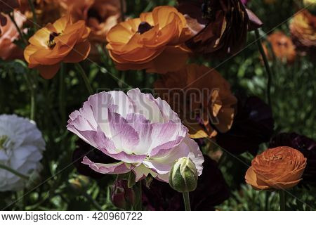 Head Of Pink Flowers Ranunculus Asiaticus Persian Buttercups Closeup