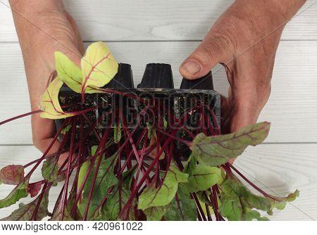 Horticulture Beet Or Beetroot Seedlings Takeaway Menu Fish Paella Rotisserie