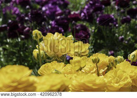 Head Of Yellow Flowers Ranunculus Asiaticus Persian Buttercups Closeup. Selective Focus