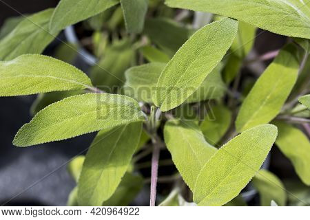 Salvia Is The Largest Genus Of Plants In The Sage Family Lamiaceae, With Nearly 1000 Species Of Shru