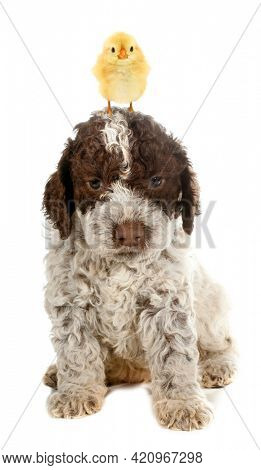 Cute chick is standing on top of head of lovely little puppy dog baby animals isolated on white background