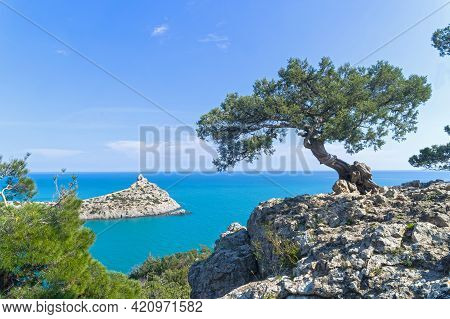 Old Curved Relict Tree-like Juniper (juniperus Excelsa) On A Rock Above The Sea. Karaul-oba, Novyy S