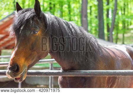 Horse In The Paddock Muzzle Close-up Laughing Horse Equine Emotions, Selective Focus