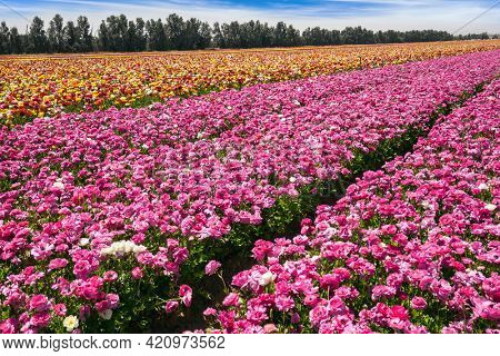 Beautiful sunny spring day. Spring walk in southern Israel. The field of luxurious springtime flowers of buttercups. Ecological, botanical and photo tourism concept