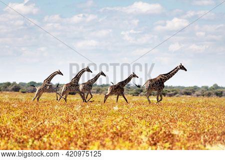 Giraffe family in dried yellow grass of african savanna