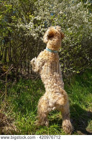 Irish Soft Coated Wheaten Terrier. A Fluffy Dog Stands On Its Hind Legs And Sniffs The Cherry Tree F