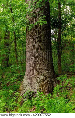 Oak Tree Trunk On A Background Of Green Bushes And Plants In A Deciduous Forest. Natural Background.