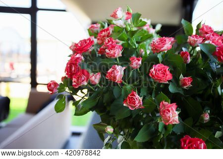 Small Pink Shrub Roses In The Vase Opposite The Window.