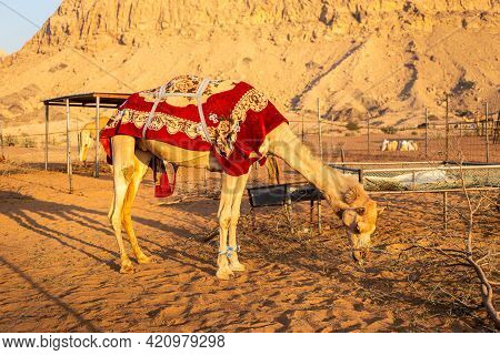 Dromedary Camel (camelus Dromedarius) Covered With Red Blanket, Eating Dry Foliage On A Farm In Shar