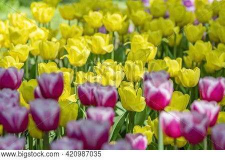 Bright Fresh Tulips Blooming In May Park On A Sunny Day