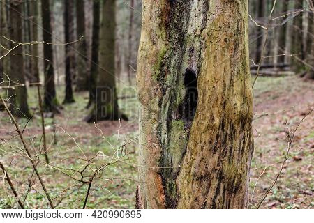 Hollow Inside A Dead Tree In The Forest.