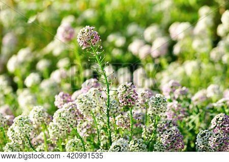 Spring flower, Spring background. Field of Lobularia maritima flowers- common name sweet alyssum or sweet alison. Spring meadow, Spring flower background. Selective focus at the upper flower. Floral spring background, Spring flowers