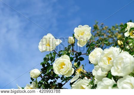 Flower background. Flower garden, summer rose flowers. Wild white rose flower of rosehip against blue sky - summer flower  landscape. White rose flowers, flower landscaping